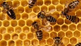 башкирские пчелы